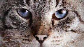 Focinho de um gato listrado de olhos azuis Fotografia de Stock