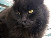 Focinho de um gato preto com olhos amarelos Foto de Stock Royalty Free