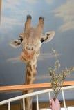 Focinho de um girafa em um pescoço longo Fotos de Stock Royalty Free