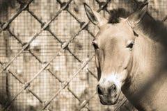 Focinho dianteiro de uma cor bege do cavalo na completo-cara Imagens de Stock