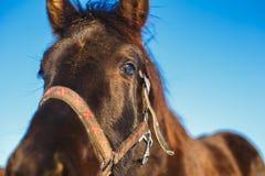 Focinho do close-up árabe preto do potro contra os olhos expressivos grandes do cavalo foto de stock