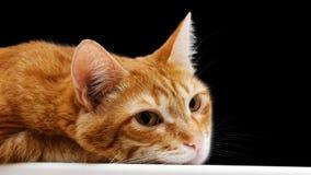 Focinho do close up de um gato vermelho de encontro Imagens de Stock Royalty Free