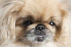 Focinho do close-up do pequinês da raça do cão Fotografia de Stock Royalty Free