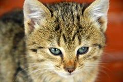 Focinho do gatinho cinzento Imagem de Stock