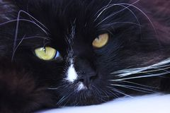 Focinho do gato Focinho bonito do close up do gato preto Foto de Stock