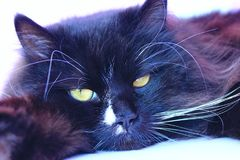 Focinho do gato Focinho bonito do close up do gato preto Imagem de Stock Royalty Free