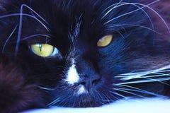 Focinho do gato Focinho bonito do close up do gato preto Animal de estimação preguiçoso Imagens de Stock