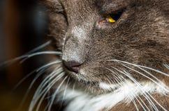 Focinho do gato cinzento Fotografia de Stock Royalty Free