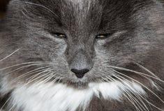 Focinho do gato cinzento Fotos de Stock