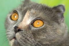 Focinho do gato da dobra do Scottish Fotografia de Stock Royalty Free