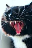 Focinho do gato de bocejo preto Fotografia de Stock