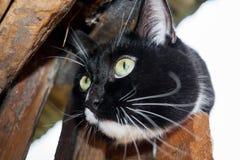 Focinho do gato preto e branco na porta de madeira da casa de madeira Fotografia de Stock