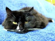 Focinho do gato preto que dorme no sofá azul Imagem de Stock Royalty Free