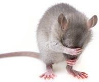 Focinho do hidingher do rato Foto de Stock