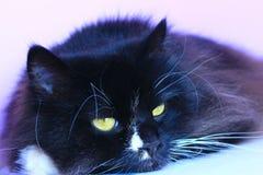 Focinho felino que encontra-se e que dorme Ascendente próximo do gato Imagem de Stock