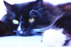 Focinho felino que encontra-se e que dorme Ascendente próximo do gato Fotografia de Stock