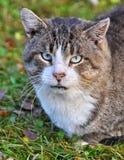 Focinho grande do gato de gato malhado Fotos de Stock
