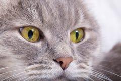 Focinho pensativo de um gato cinzento Foto de Stock