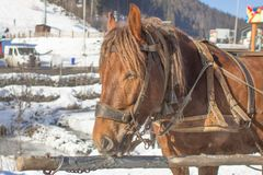 Focinho tirado por um fim vermelho do cavalo acima Imagem de Stock Royalty Free
