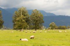 Fock delle pecore che pascono con il fondo della montagna Immagini Stock