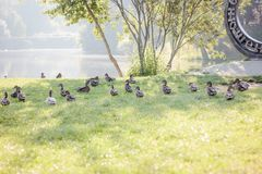 Fock of ducks walking on the grass Royalty Free Stock Image