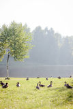 Fock of ducks walking on the grass Royalty Free Stock Images
