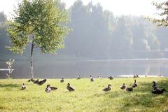 Fock of ducks walking on the grass Royalty Free Stock Photos