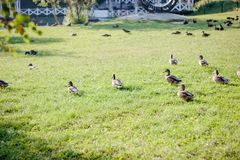 Fock of ducks walking on the grass Royalty Free Stock Photography