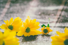 Foco ascendente y selectivo del cierre en el flawer amarillo de chrys hermosos Foto de archivo libre de regalías