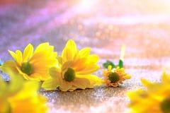 Foco ascendente y selectivo del cierre en el flawer amarillo de chrys hermosos Foto de archivo