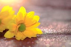 Foco ascendente y selectivo del cierre en el flawer amarillo de chrys hermosos Fotografía de archivo