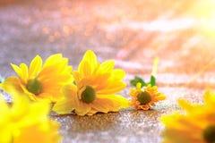 Foco ascendente y selectivo del cierre en el flawer amarillo de chrys hermosos Imágenes de archivo libres de regalías
