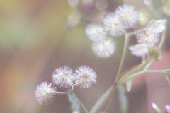 Foco borroso soñador y suave de la flor blanca de la pequeña hierro-mala hierba en el jardín imágenes de archivo libres de regalías