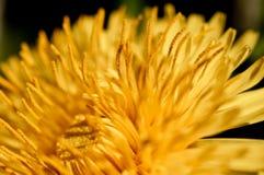 Foco da flor do dente-de-leão no pistil fotos de stock