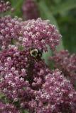 Foco de la abeja en las flores blancas y púrpuras Imagenes de archivo