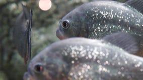 FOCO DEL CAMBIO: Ciérrese para arriba de la piraña (el nattereri del serrasalmus) almacen de video