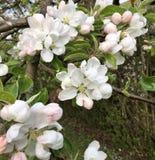 Foco del primero plano en el flor de la manzana imagen de archivo