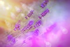 Foco del Sof en la flor hermosa del lavander Imagen de archivo libre de regalías