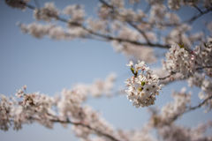 Foco do blomssom da cereja na flor da cereja Imagem de Stock