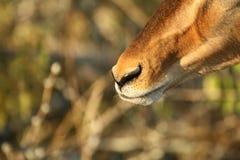 Foco do focinho da impala Imagem de Stock Royalty Free
