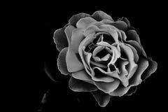 Foco do preto escuro da flor de Rosa Imagem de Stock