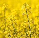 Foco en campo de la colza en un día soleado Cierre para arriba foto de archivo