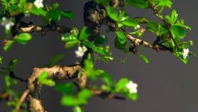 Foco lento adentro en un pequeño árbol de los bonsais almacen de metraje de vídeo