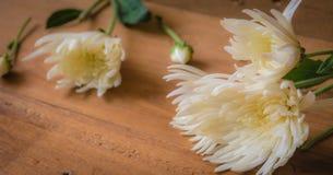 Foco macio, crisântemo branco Foto de Stock Royalty Free