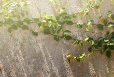 Foco macio da parede coberto com as folhas verdes Fotos de Stock