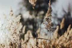 Foco macio de juncos secos da praia na luz dourada do por do sol imagem de stock royalty free