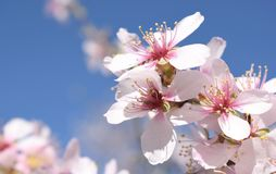 Foco macio do fundo da flor da amêndoa borrão Foco seletivo Fotografia de Stock