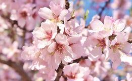 Foco macio do fundo da flor da amêndoa borrão Foco seletivo fotos de stock