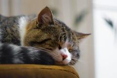 Foco macio do gato doméstico do sono Foto de Stock