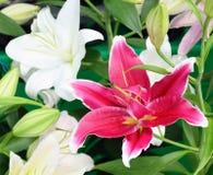 Foco macio do lírio cor-de-rosa e branco Foto de Stock Royalty Free
